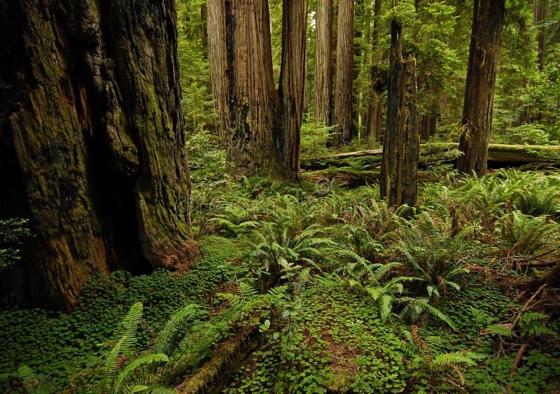Δάσος Redwood στοκ εικόνες