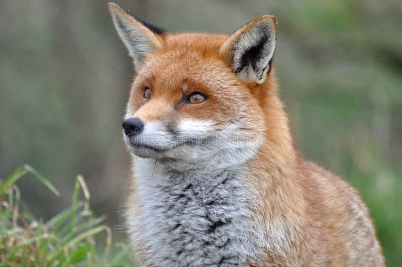 Μια αλεπού το καλοκαίρι στοκ εικόνα