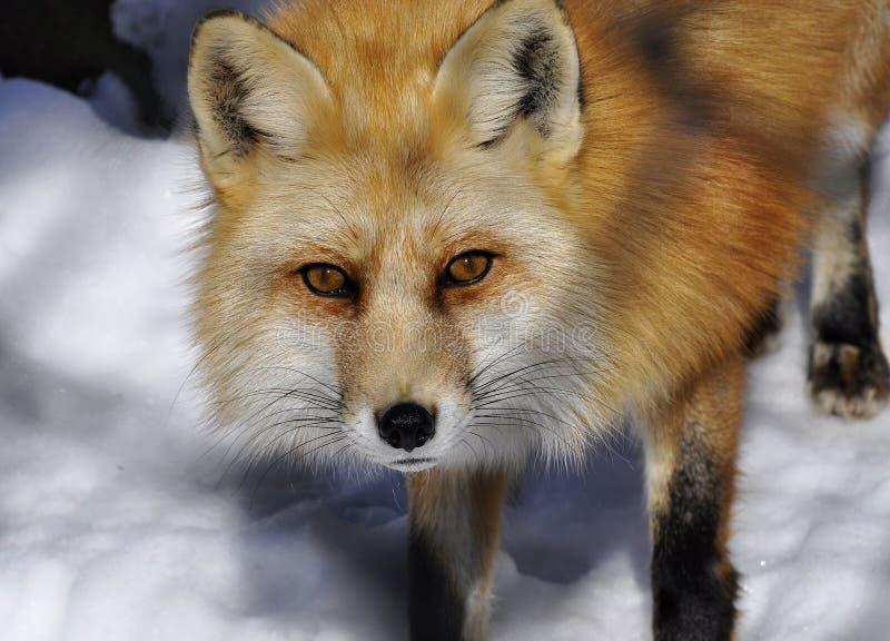 Μια αλεπού το χειμώνα στοκ εικόνα
