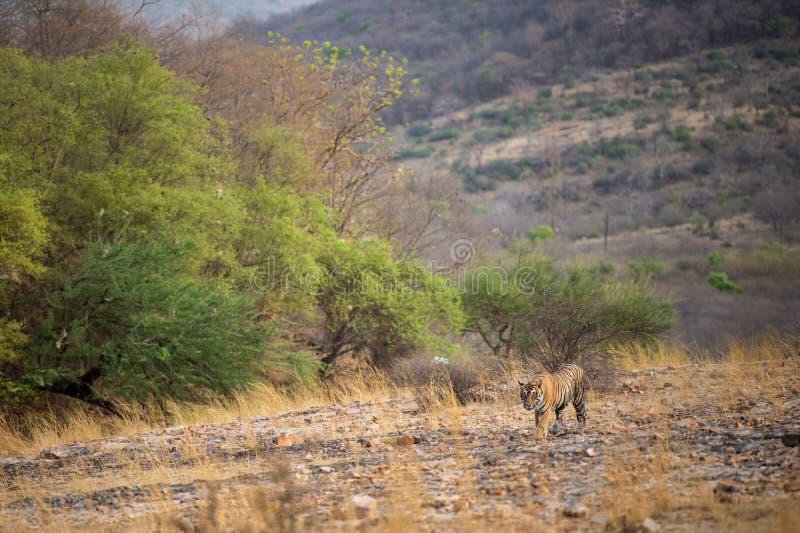 Μια βασιλικό αρσενικό τίγρη ή ένα panthera Τίγρης της Βεγγάλης στο prowl με όμορφα πράσινα δέντρα ξεραίνει το τοπίο υποβάθρου λόφ στοκ εικόνες με δικαίωμα ελεύθερης χρήσης