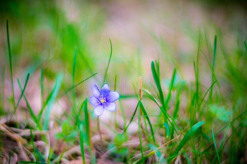 μια βιολέτα λουλουδιών στοκ εικόνες