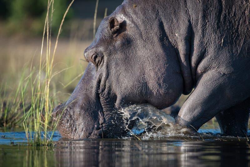 Μια βοσκή hippo στα ρηχά νερά στοκ φωτογραφία με δικαίωμα ελεύθερης χρήσης