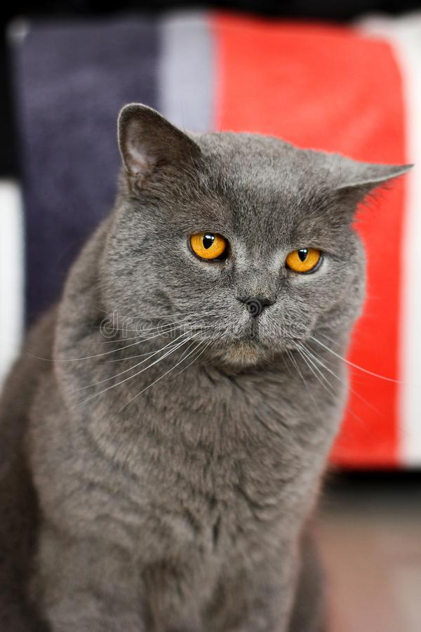 Μια βρετανική γάτα εξετάζειη σας στοκ φωτογραφία με δικαίωμα ελεύθερης χρήσης