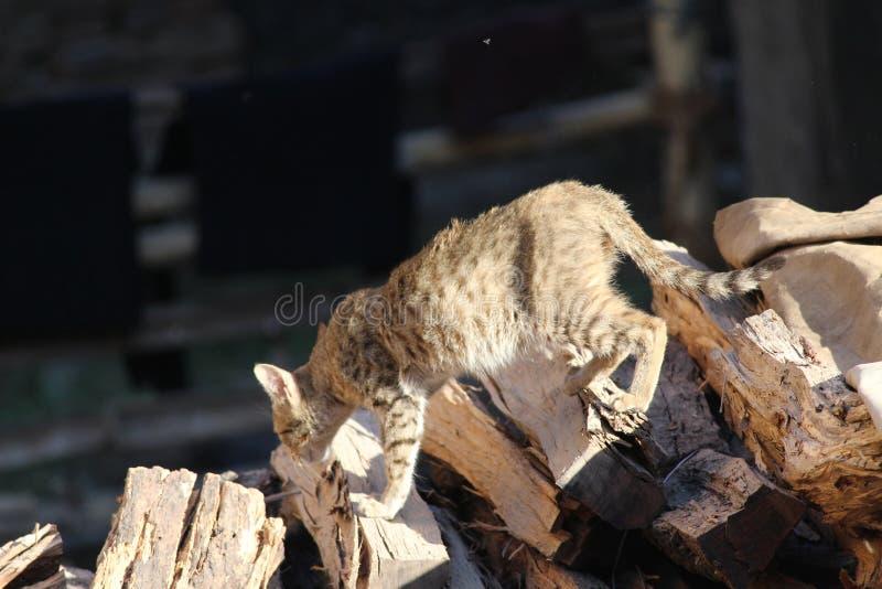 Μια γάτα είναι στην αναζήτηση του θηράματος στοκ εικόνες με δικαίωμα ελεύθερης χρήσης