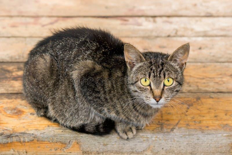Μια γάτα κάθεται σε μια ξύλινη βάσηη Ριγωτή γάτα χρώματος με τα σημάδια της επιθετικότητας στοκ φωτογραφία