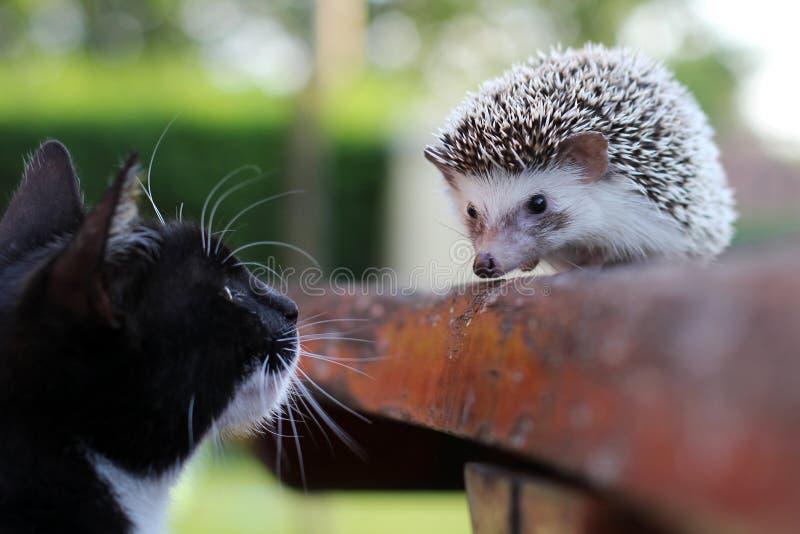 Μια γάτα και ένας φίλος σκαντζόχοιρων στοκ εικόνες