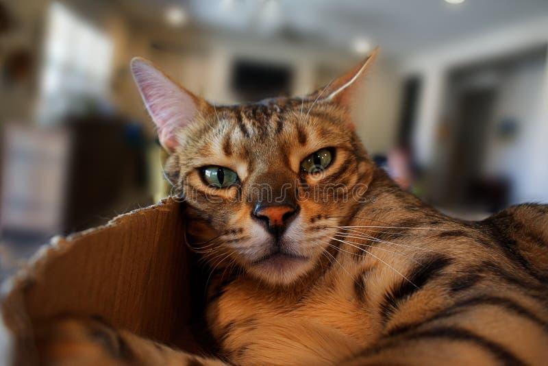 Μια γάτα σπιτιών της Βεγγάλης κατοικίδιων ζώων κάθεται σε ένα κιβώτιο, κοιτάζοντας επίμονα στη κάμερα με χαλαρωμένη και αναιδής κ στοκ φωτογραφία με δικαίωμα ελεύθερης χρήσης