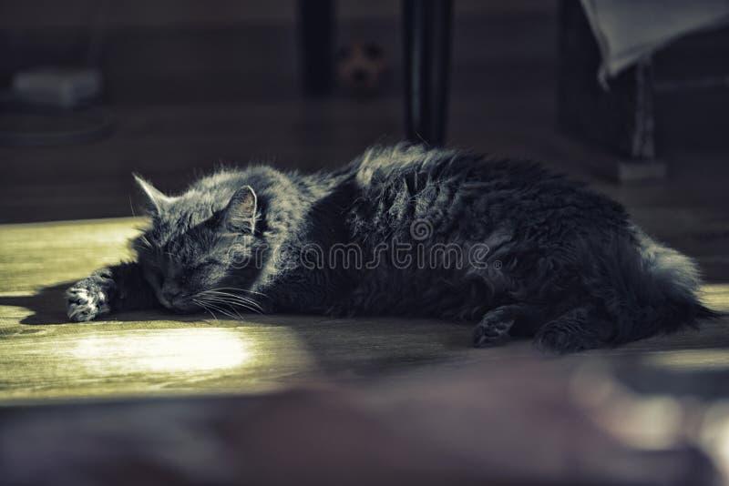 Μια γάτα του ασημένιου χρώματος βρίσκεται στο πάτωμα στοκ φωτογραφίες