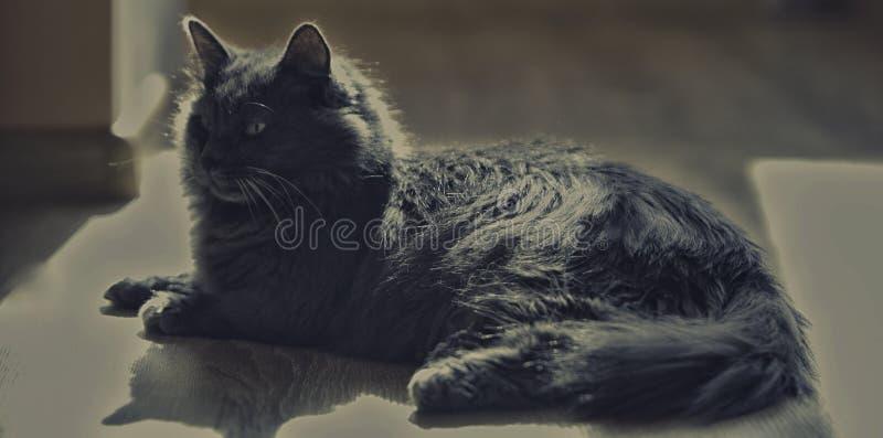 Μια γάτα του ασημένιου χρώματος βρίσκεται στο πάτωμα στοκ εικόνα