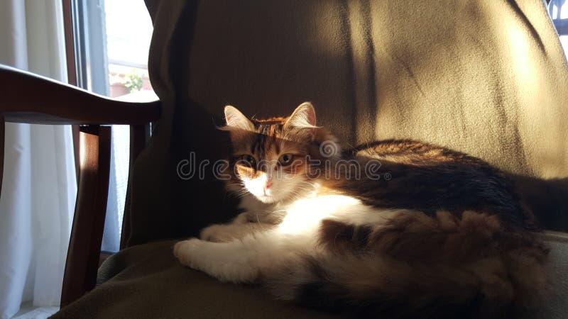 Μια γάτα tricolor που στηρίζεται σε έναν καναπέ με τα ξύλινα όπλα, κάτω από τις σκιές και τον ήλιο απογεύματος κοιτάζει επίμονα σ στοκ εικόνα