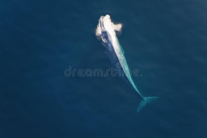 Μια γαλάζια φάλαινα φυσά καθώς αυτό επιφάνειες για τον αέρα στοκ εικόνες