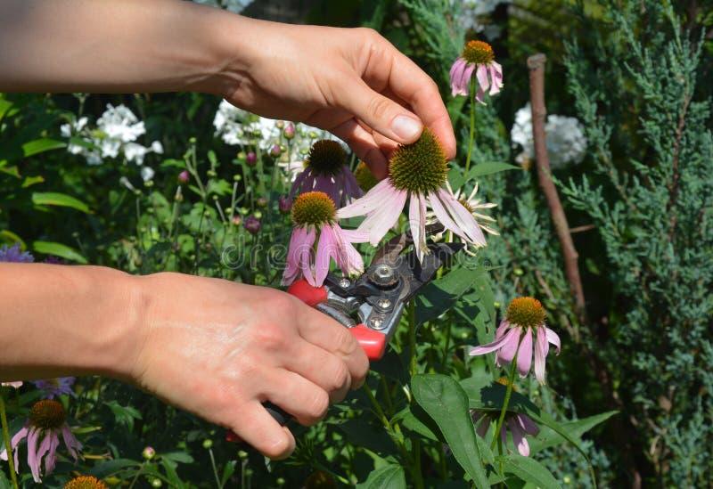 Μια γυναίκα βρίσκεται σε αδιέξοδο, συλλέγει εχινάκεια πορφύρα ή μοβ κόνεφτρα στον κήπο για τσάι βοτάνων χρησιμοποιώντας κλαδιά στοκ φωτογραφίες με δικαίωμα ελεύθερης χρήσης