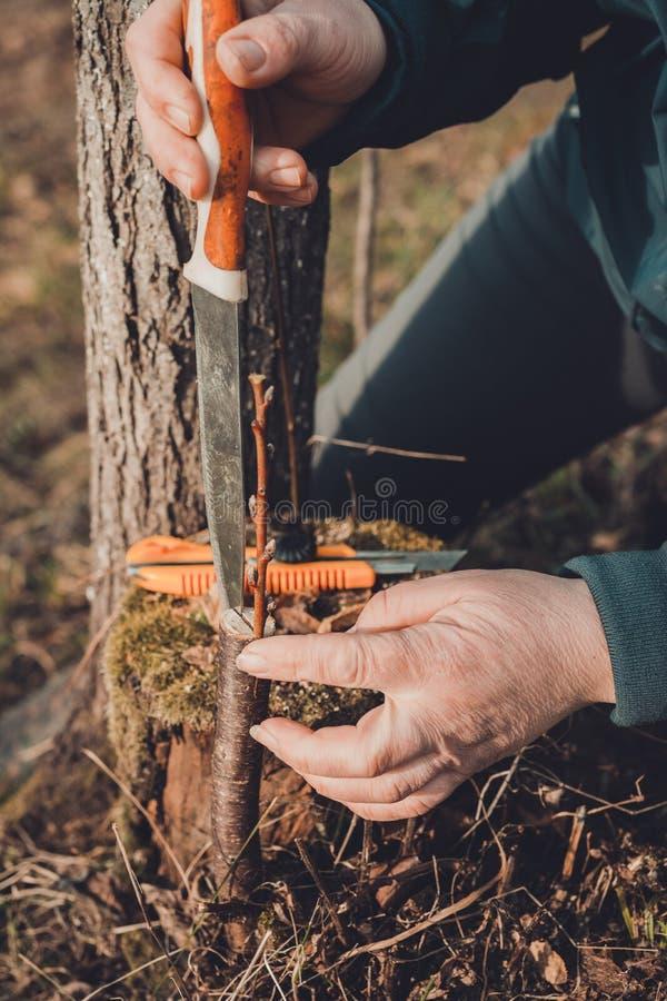 Μια γυναίκα κόβει ένα νέο δέντρο με ένα μαχαίρι για τον εμβολιασμό του κλάδου φρούτων στοκ φωτογραφία με δικαίωμα ελεύθερης χρήσης