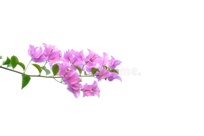 Μια δέσμη του όμορφου ρόδινου άνθους λουλουδιών bougainvillea στο λευκό απομόνωσε το υπόβαθρο στοκ εικόνες με δικαίωμα ελεύθερης χρήσης
