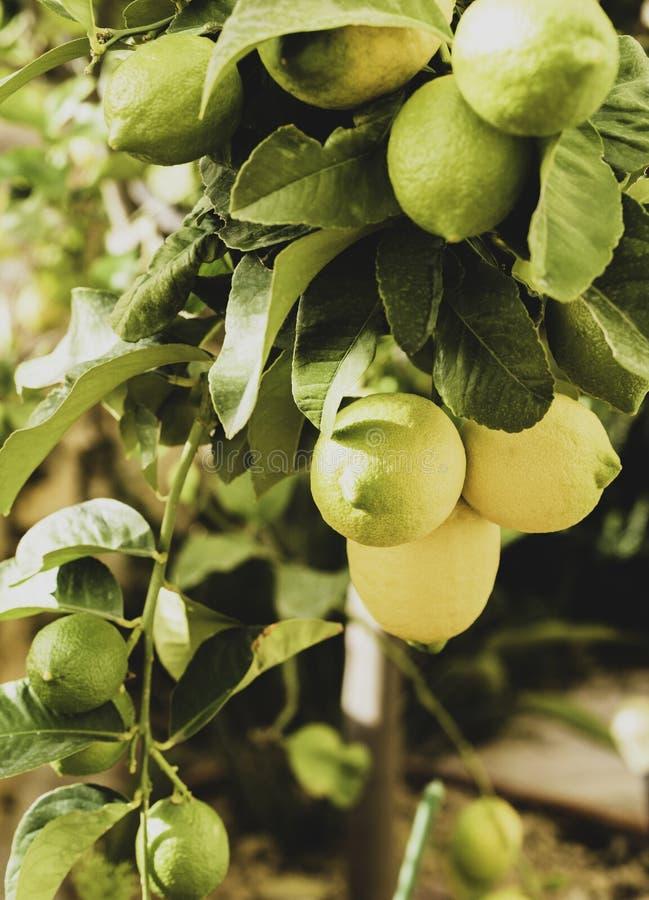 Μια δέσμη των φρέσκων λεμονιών σε έναν κλάδο δέντρων λεμονιών σε έναν ηλιόλουστο κήπο Εκλεκτική εστίαση, τονισμένη φωτογραφία στοκ εικόνες