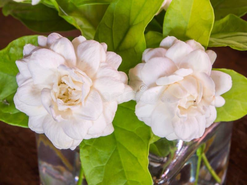 Μια εικόνα κινηματογραφήσεων σε πρώτο πλάνο τροπικό όμορφο jasmine ανθίζει και πράσινα φύλλα σε ένα δοχείο γυαλιού στο ξύλινο υπό στοκ εικόνα με δικαίωμα ελεύθερης χρήσης