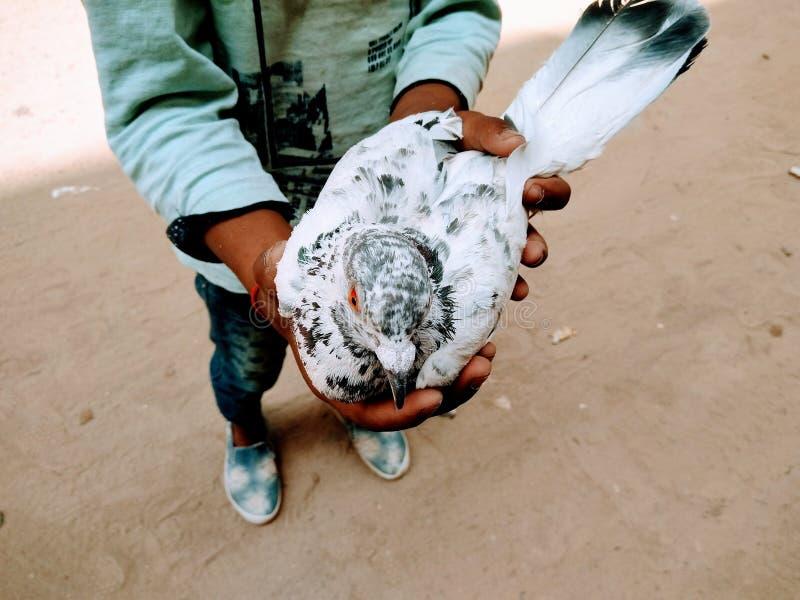 Μια εικόνα του άσπρου περιστεριού στα παιδιά δίνει, στοκ εικόνα με δικαίωμα ελεύθερης χρήσης