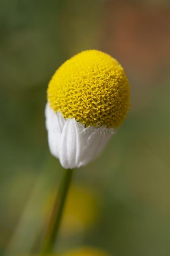 Μια ενιαία γερμανική chamomile αρχή λουλουδιών για να ανθίσει στοκ φωτογραφία με δικαίωμα ελεύθερης χρήσης