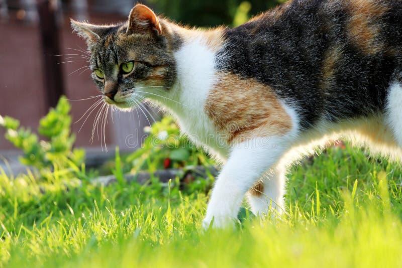 Μια εσωτερική γάτα που περπατά πέρα από τη χλόη μια προσπάθεια βρίσκει κάποιο κάνθαρο ή κάποιο μικρό ποντίκι στοκ φωτογραφία
