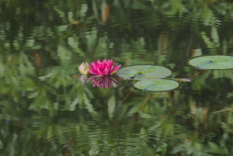 Μια ζάλη βαθιά - ρόδινος λωτός, πρόσφατα που ανθίζει σε μια σκούρο πράσινο λίμνη πάρκων στοκ φωτογραφίες