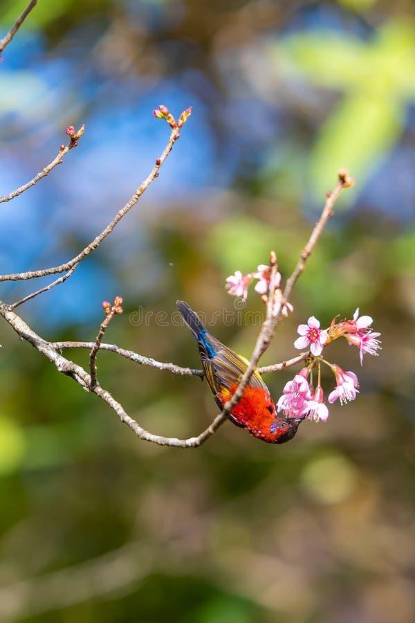 Μια ζωηρόχρωμη μικροσκοπική κα Τροφή Gould sunbird με ένα ανθίζοντας άγριο λουλούδι κερασιών Himalayan στοκ εικόνες