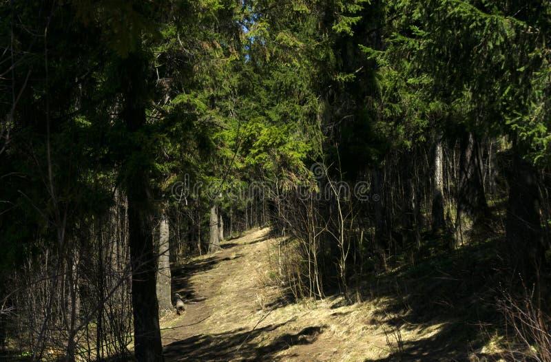 Μια ηλιόλουστη πορεία σε ένα σκιερό δάσος άνοιξη στοκ φωτογραφία