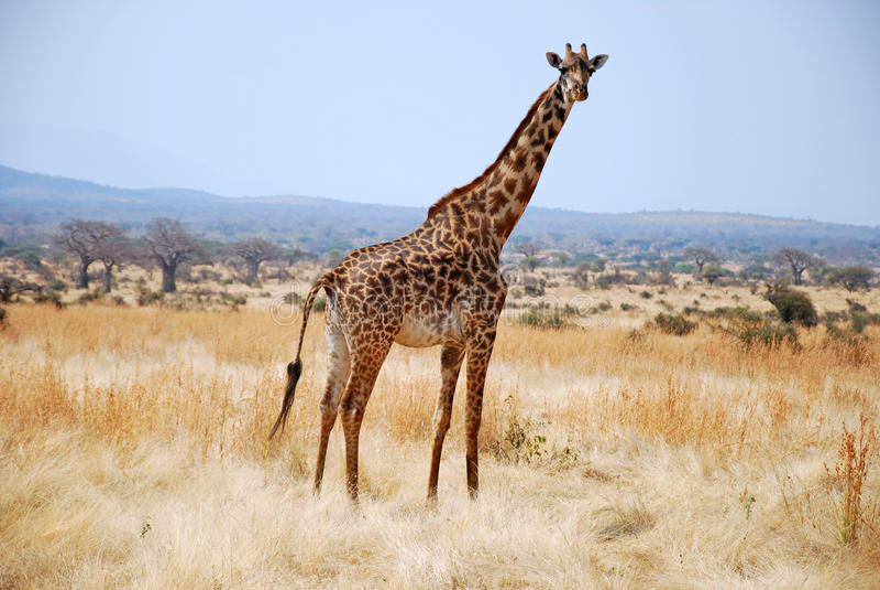 Μια ημέρα του σαφάρι στην Τανζανία - την Αφρική - Giraffe στοκ φωτογραφία με δικαίωμα ελεύθερης χρήσης