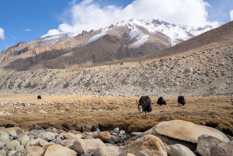 Μια θέα μιας ομάδας γιακ τρώει στο χωράφι με το βουνό του χιονιού στο Ladakh της Ινδίας στοκ φωτογραφία