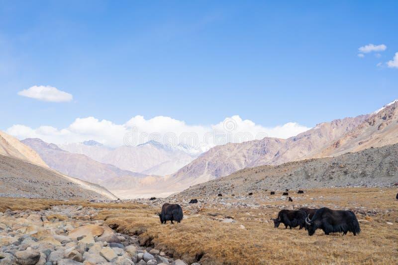 Μια θέα μιας ομάδας γιακ τρώει στο χωράφι με το βουνό του χιονιού στο Ladakh της Ινδίας στοκ εικόνες με δικαίωμα ελεύθερης χρήσης
