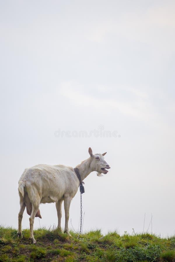 Μια θηλυκή άσπρη αίγα που στέκεται στην πράσινη χλόη πάνω από το λόφο στο ηλιοβασίλεμα με το μπλε ουρανό στο υπόβαθρο στοκ εικόνες με δικαίωμα ελεύθερης χρήσης