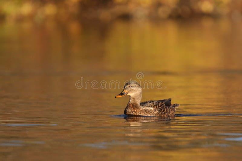 Μια θηλυκή πάπια πρασινολαιμών που κολυμπά το φθινόπωρο στο σούρουπο στοκ φωτογραφία με δικαίωμα ελεύθερης χρήσης