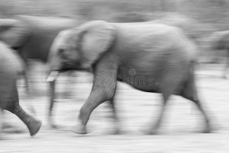 Μια θολωμένη εικόνα κινήσεων του τρεξίματος ελεφάντων στοκ εικόνα με δικαίωμα ελεύθερης χρήσης