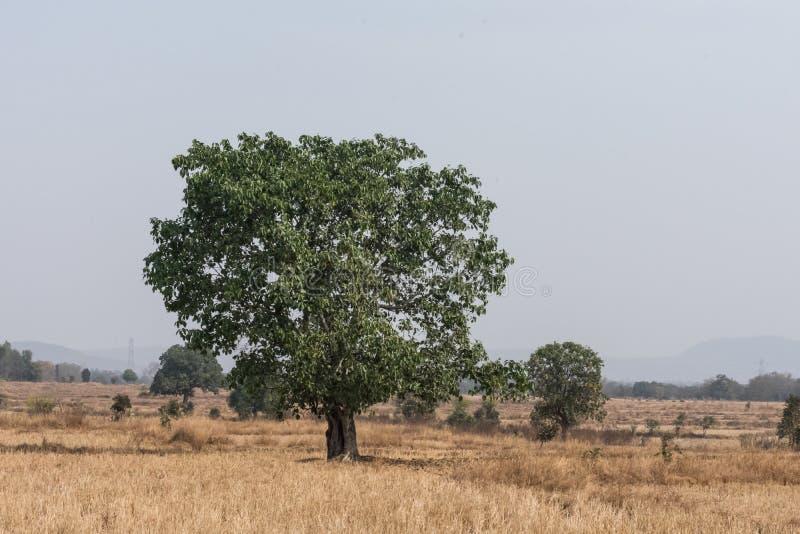 Μια ινδική banyan στενή άποψη δέντρων στο κέντρο του αγροκτήματος ορυζώνα που φαίνεται τρομερό στοκ φωτογραφίες με δικαίωμα ελεύθερης χρήσης