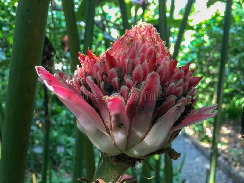 Μια ινδονησιακή φυτεία καφέ με μια άνθιση λουλουδιών στοκ εικόνα με δικαίωμα ελεύθερης χρήσης