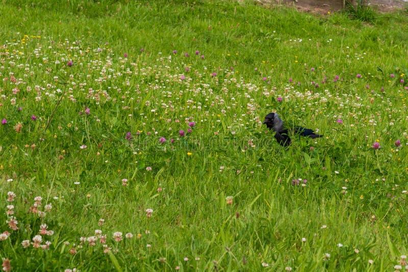 Μια κάργα, monedula corvus, σε ένα ανθίζοντας λιβάδι στοκ φωτογραφίες με δικαίωμα ελεύθερης χρήσης