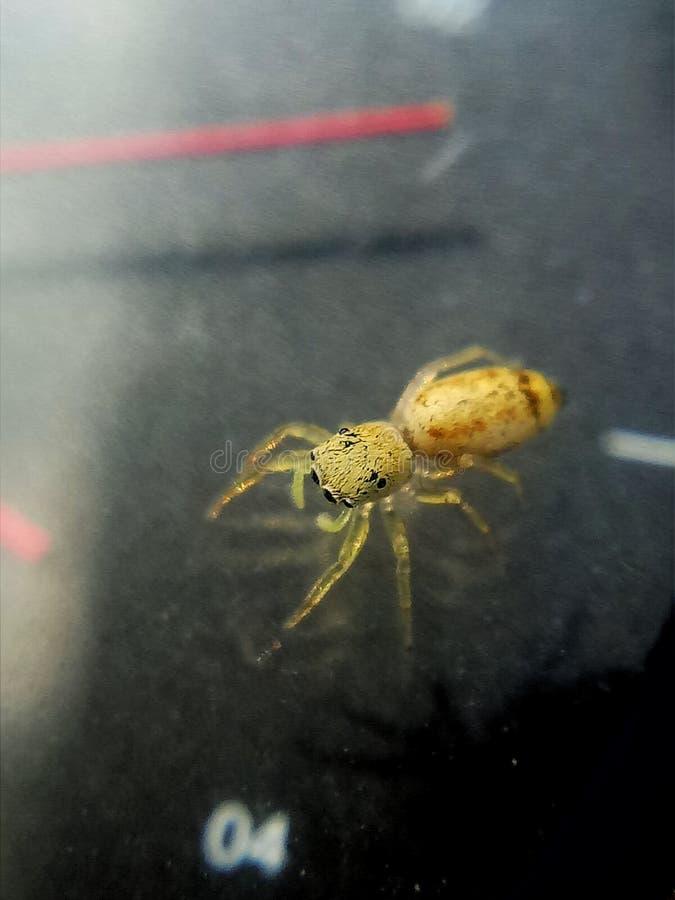 Μια κίτρινη μικροσκοπική αράχνη άλματος στοκ εικόνες