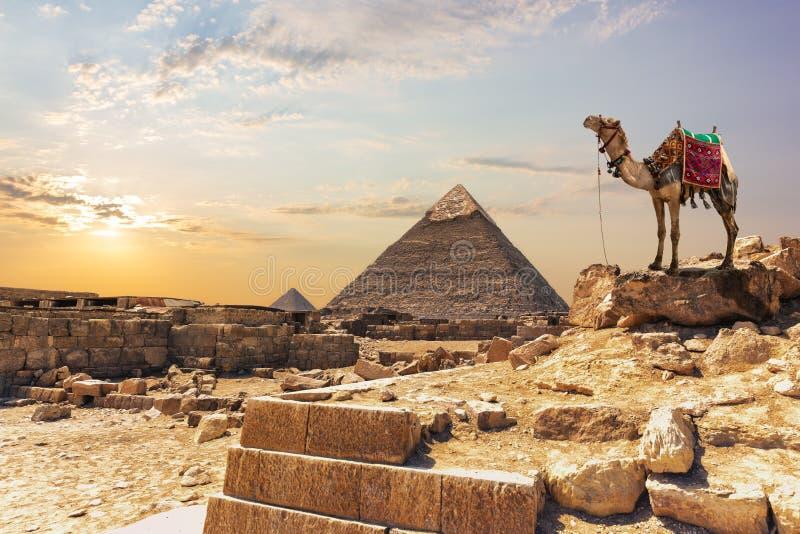 Μια καμήλα κοντά στην πυραμίδα Khafre σε Giza, Αίγυπτος στοκ εικόνες