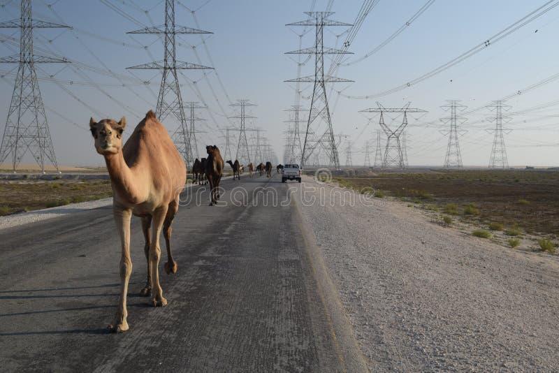 Μια καμήλα που οδηγεί ένα κοπάδι κατά μήκος ενός δρόμου ερήμων έξω από Eammam, ανατολική επαρχία, Σαουδική Αραβία στοκ φωτογραφίες
