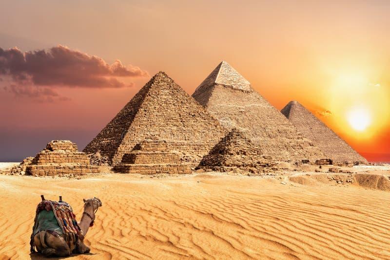 Μια καμήλα που προσέχει το ηλιοβασίλεμα στην έρημο κοντά στις πυραμίδες Giza, Αίγυπτος στοκ εικόνα