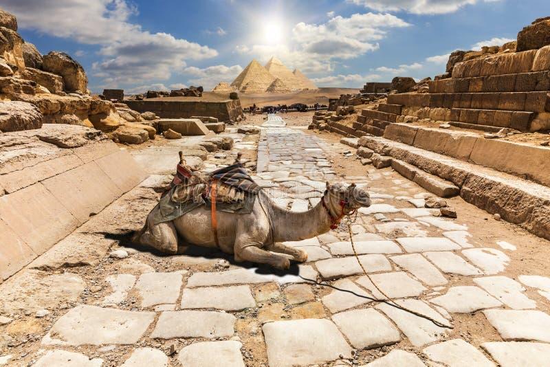 Μια καμήλα στις καταστροφές του ναού Giza, Αίγυπτος στοκ φωτογραφία