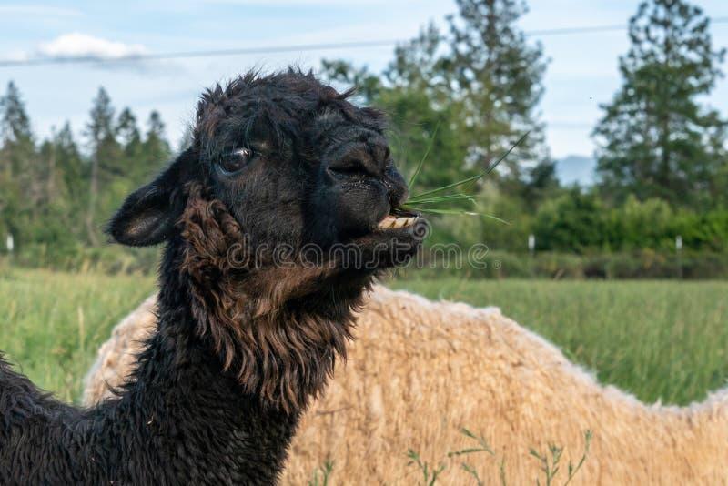 Μια κινηματογράφηση σε πρώτο πλάνο μιας μαύρης προβατοκαμήλου που κάνει ένα αστείο πρόσωπο στοκ εικόνες με δικαίωμα ελεύθερης χρήσης