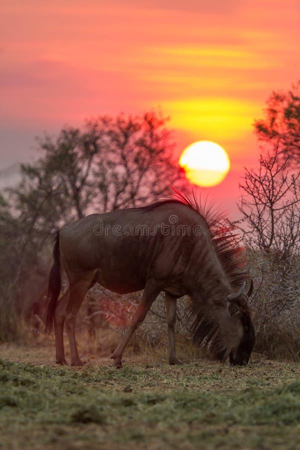 Μια κοινή πιό wildebeest βοσκή κάτω από έναν ήλιο ρύθμισης Νότια Αφρική στοκ εικόνα με δικαίωμα ελεύθερης χρήσης