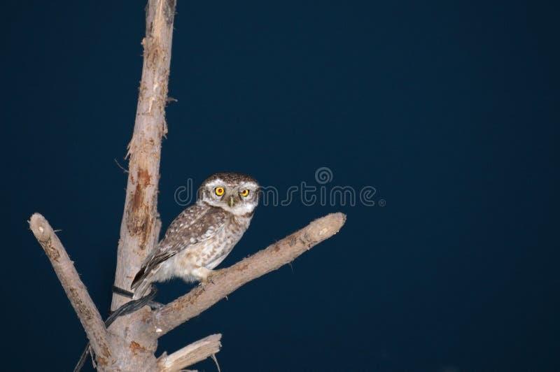 Μια κουκουβάγια στο δέντρο στοκ εικόνες