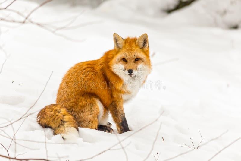 Μια κόκκινη αλεπού σε μια χειμερινή σκηνή στοκ εικόνες