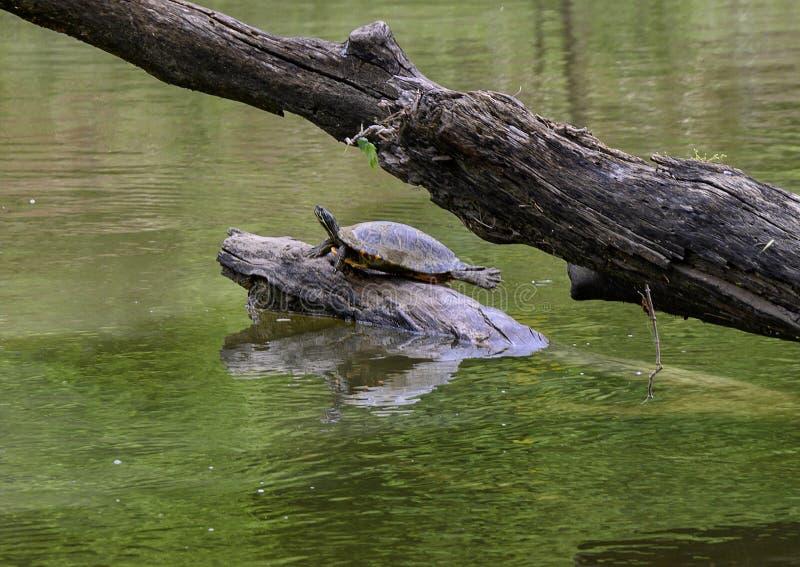 Μια κόκκινος-έχουσα νώτα χελώνα ολισθαινόντων ρυθμιστών λιμνών σε ένα κούτσουρο που απολαμβάνει τον ήλιο σε έναν ποταμό στο πάρκο στοκ εικόνα
