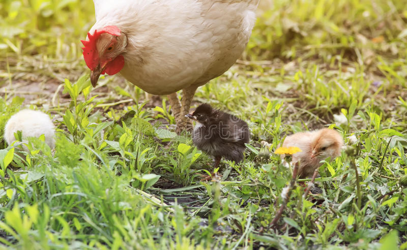 Μια κότα με τα κοτόπουλα που περπατούν σε μια πράσινη χλόη στο αγρόκτημα στοκ φωτογραφία με δικαίωμα ελεύθερης χρήσης