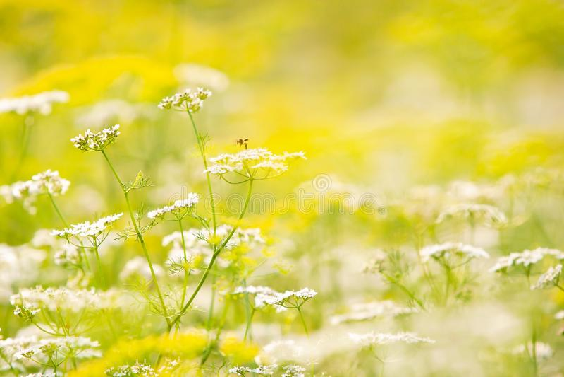 Μια λίγη μέλισσα μελιού που συλλέγει τη γύρη στα άγρια λουλούδια, άνθος άνοιξη στοκ φωτογραφία με δικαίωμα ελεύθερης χρήσης