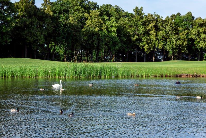 Μια λίμνη με τις πάπιες και άσπρο να επιπλεύσει πουλιών κύκνων στοκ φωτογραφίες