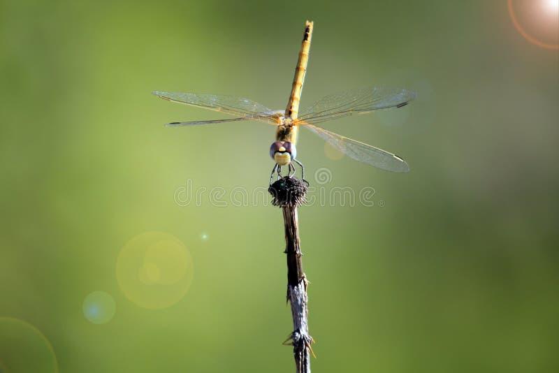 Μια λιβελλούλη έτοιμη να πετάξει στοκ εικόνα