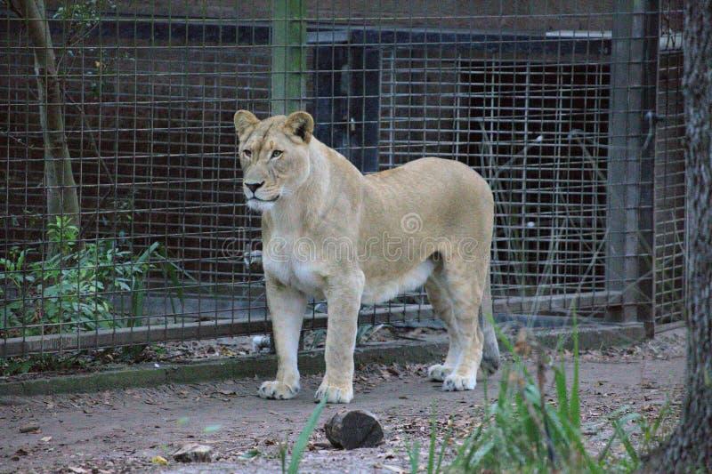 Μια λιονταρίνα σε έναν ζωολογικό κήπο στοκ εικόνες